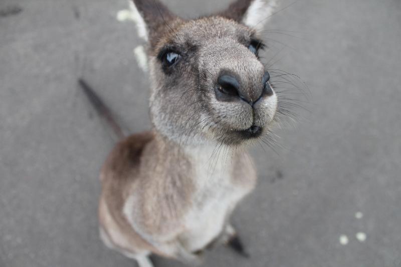 kangourou